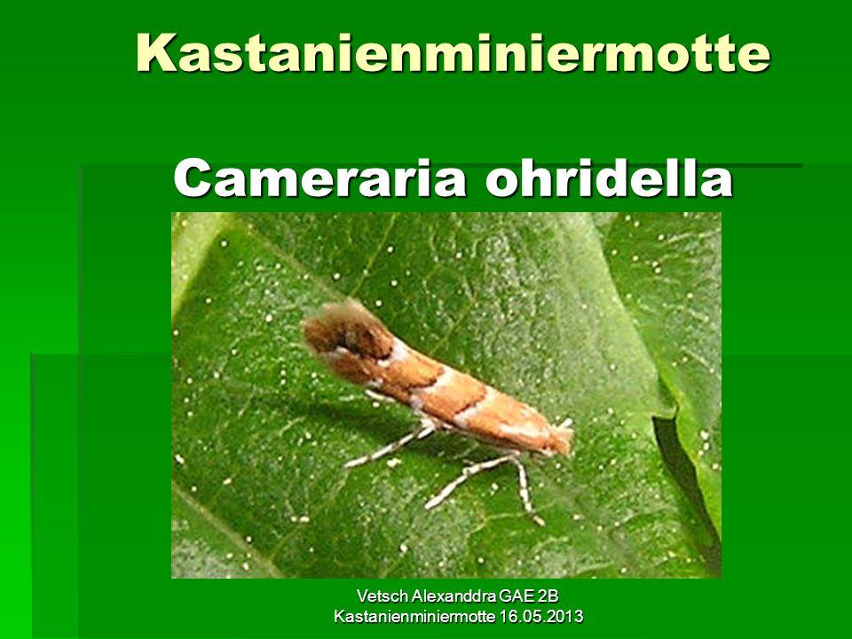 Kastanienminiermotte Cameraria ohridella