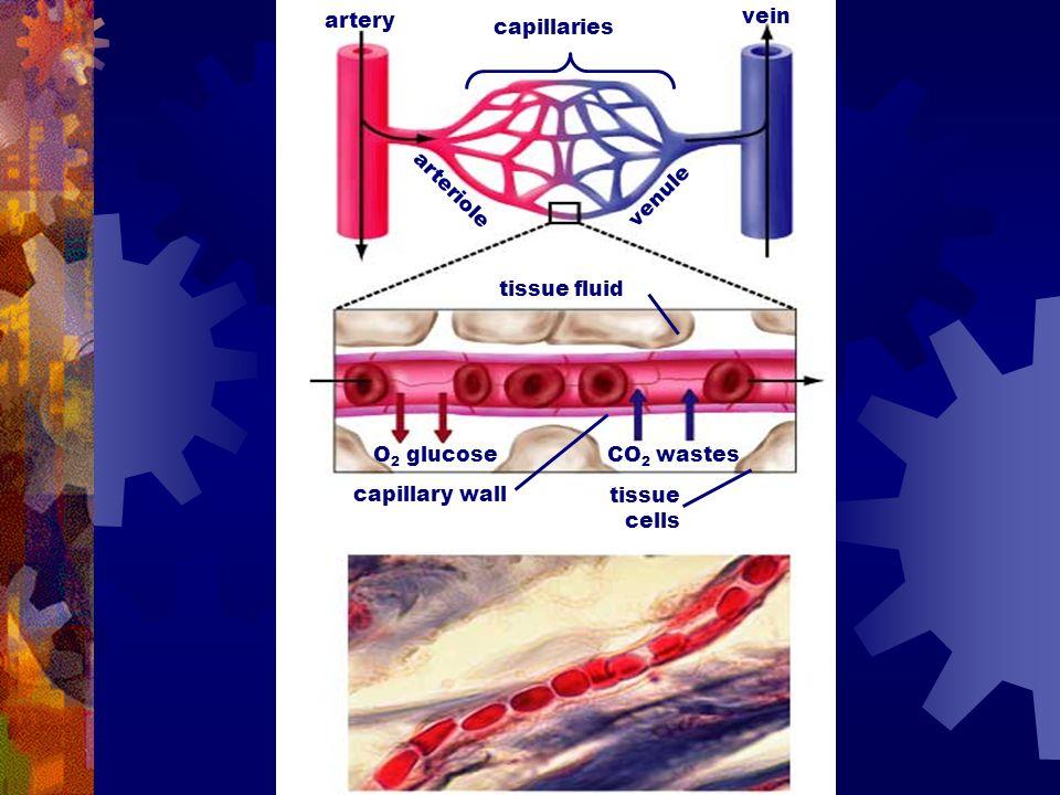 capillaries artery vein arteriole venule tissue fluid tissue cells