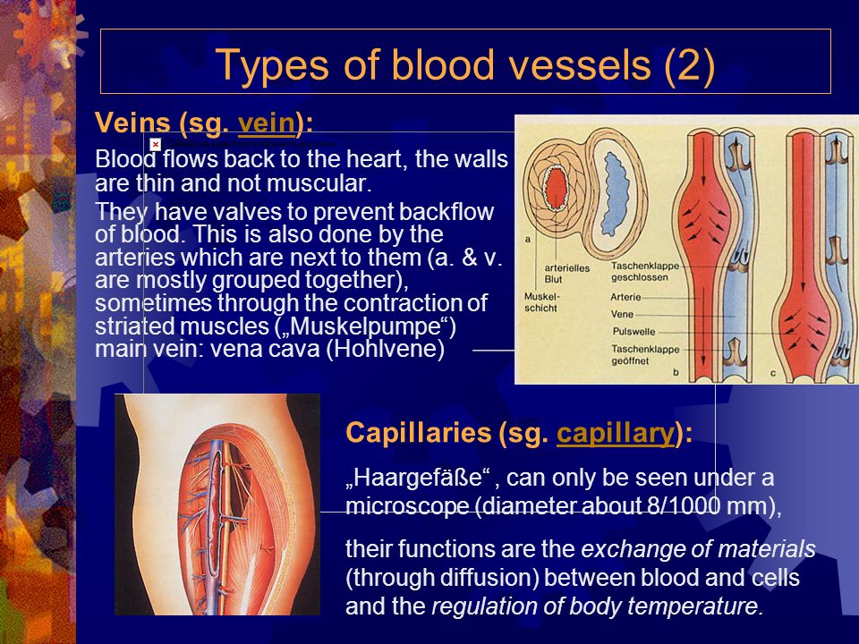 Types of blood vessels (2)