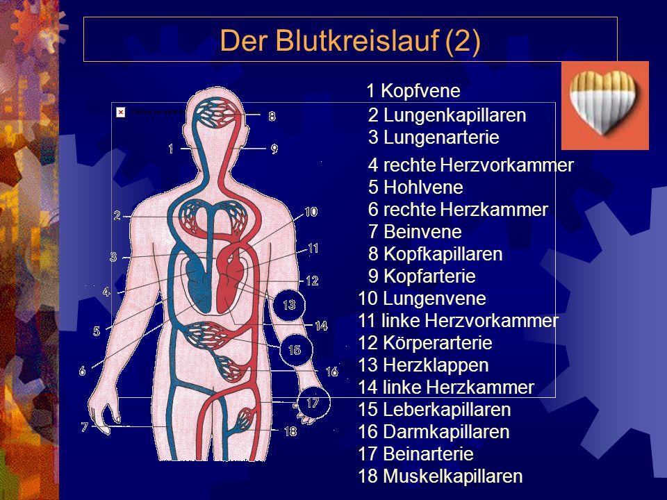 Der Blutkreislauf (2) 1 Kopfvene 2 Lungenkapillaren 3 Lungenarterie