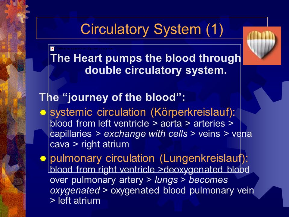 The Heart pumps the blood through a double circulatory system.