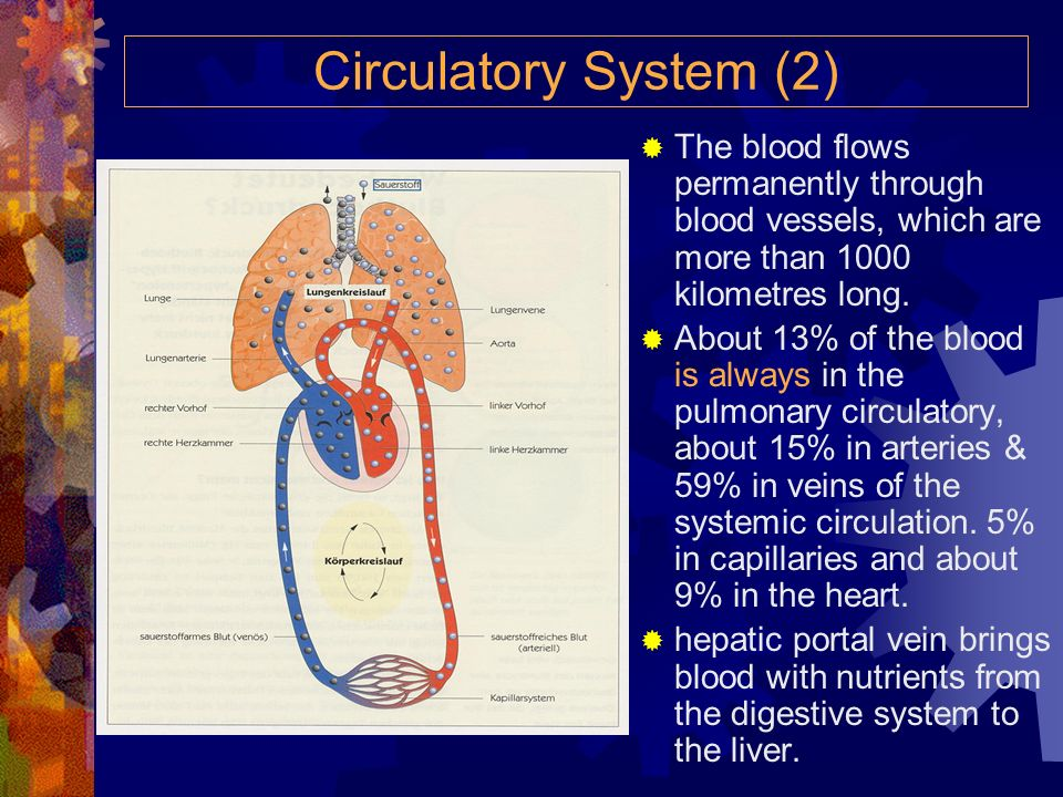 Circulatory System (2)The blood flows permanently through blood vessels, which are more than 1000 kilometres long.