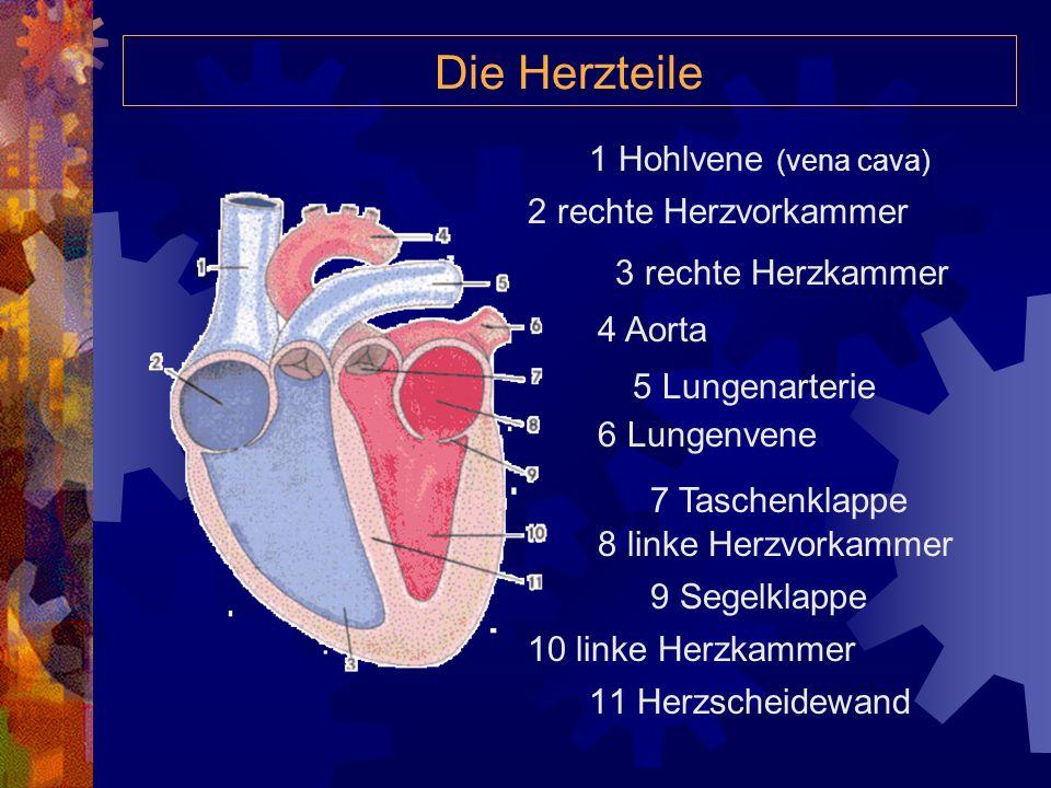 Die Herzteile 1 Hohlvene (vena cava) 2 rechte Herzvorkammer