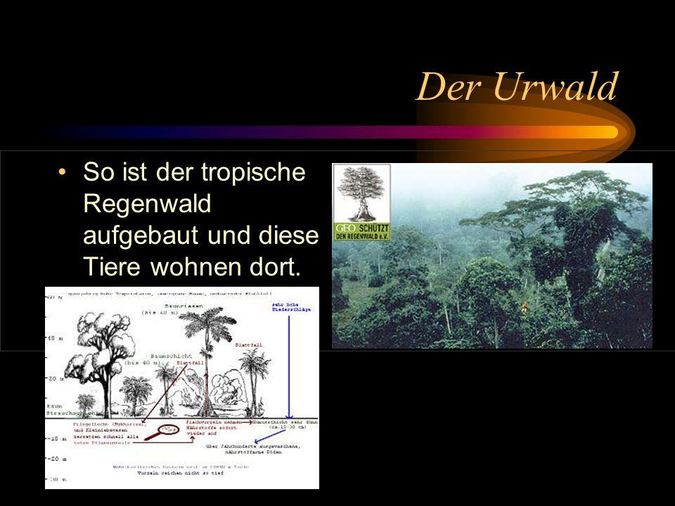Der Urwald So ist der tropische Regenwald aufgebaut und diese Tiere wohnen dort.
