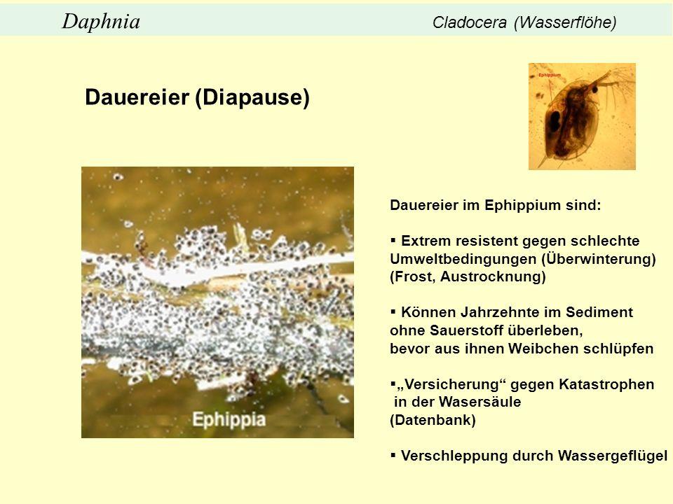 Dauereier (Diapause) Daphnia Cladocera (Wasserflöhe)