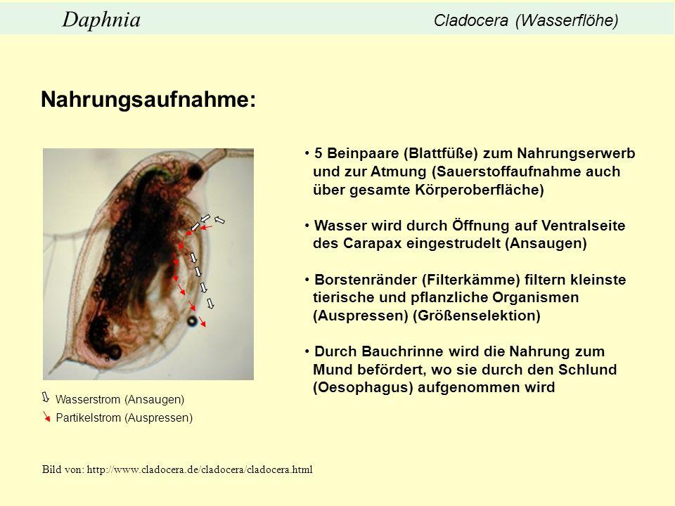 Nahrungsaufnahme: Daphnia Cladocera (Wasserflöhe)