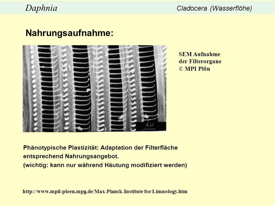 Nahrungsaufnahme: Daphnia Cladocera (Wasserflöhe) SEM Aufnahme