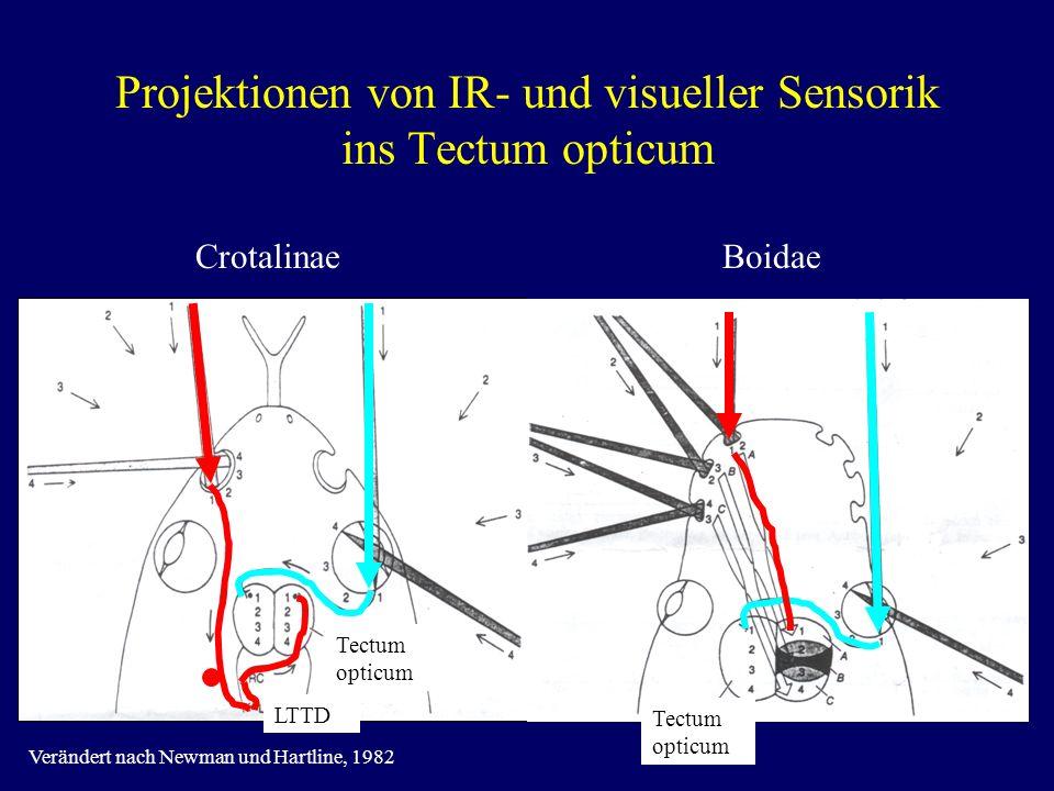 Projektionen von IR- und visueller Sensorik ins Tectum opticum