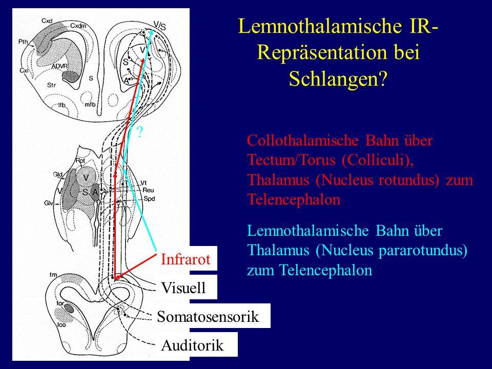 Lemnothalamische IR-Repräsentation bei Schlangen