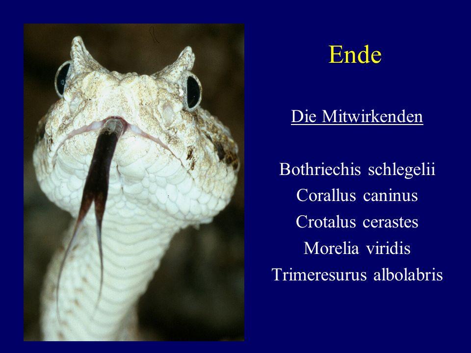 Ende Die Mitwirkenden Bothriechis schlegelii Corallus caninus