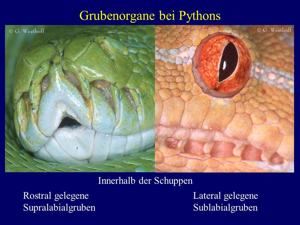 Grubenorgane bei Pythons