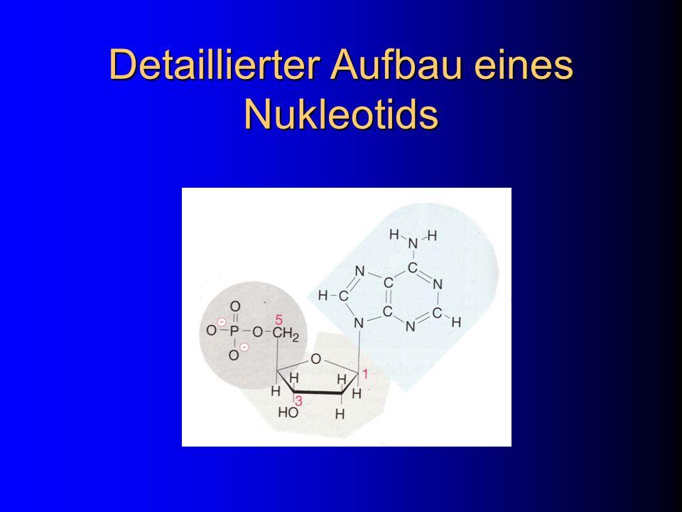 Detaillierter Aufbau eines Nukleotids
