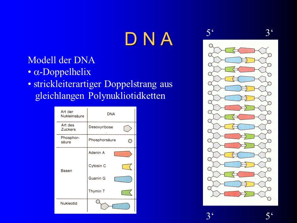 D N A 5' 3' Modell der DNA -Doppelhelix