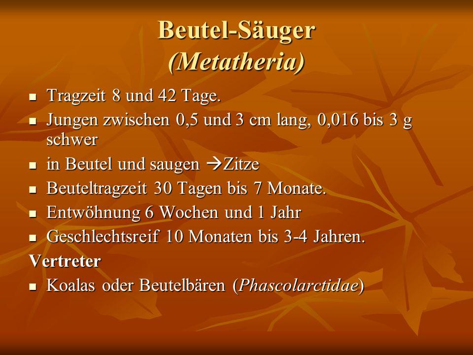 Beutel-Säuger (Metatheria)
