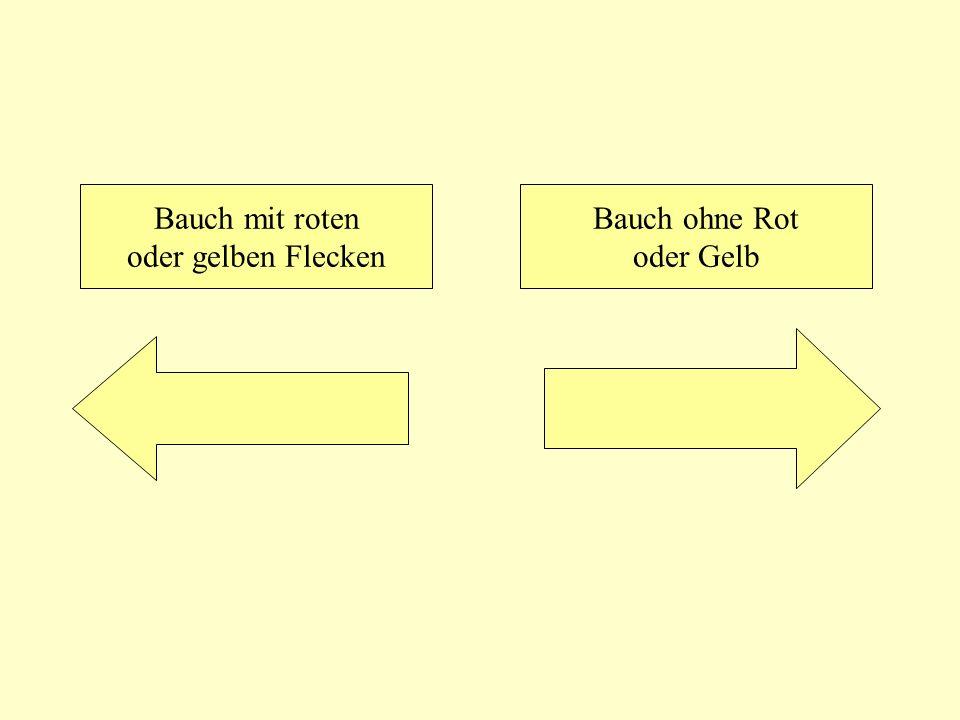Bauch mit roten oder gelben Flecken Bauch ohne Rot oder Gelb