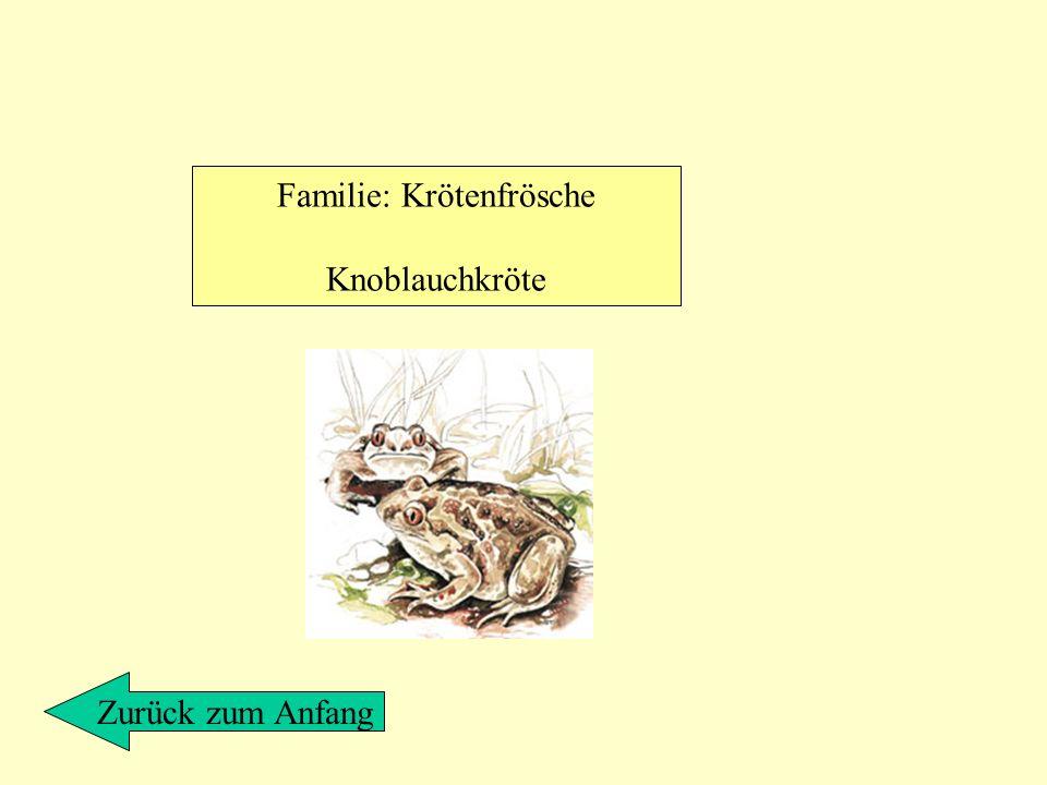 Familie: Krötenfrösche