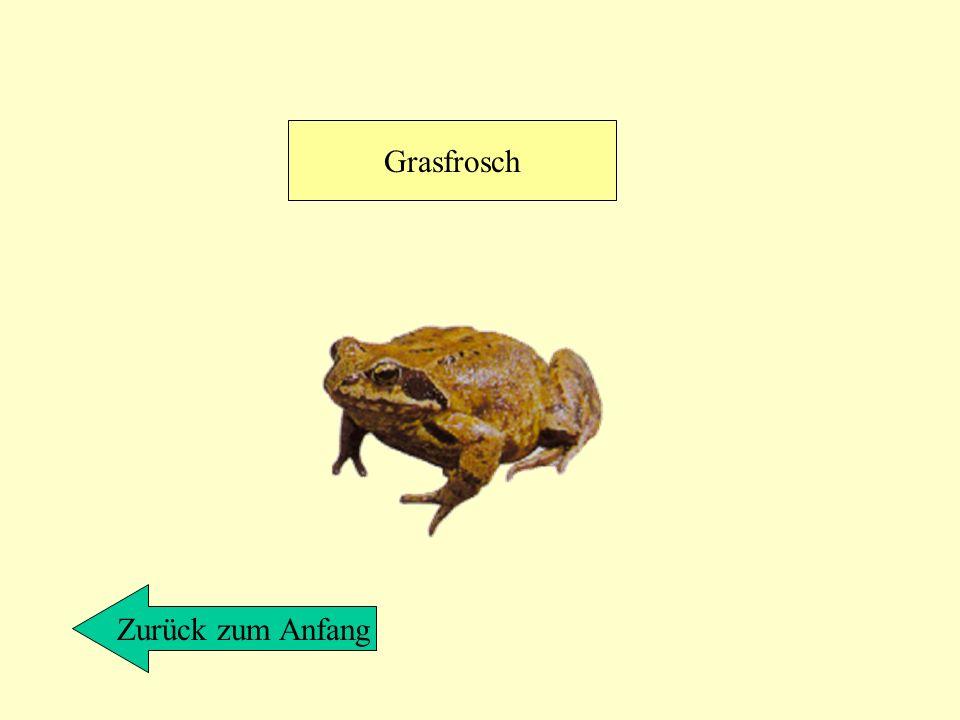 Grasfrosch Zurück zum Anfang