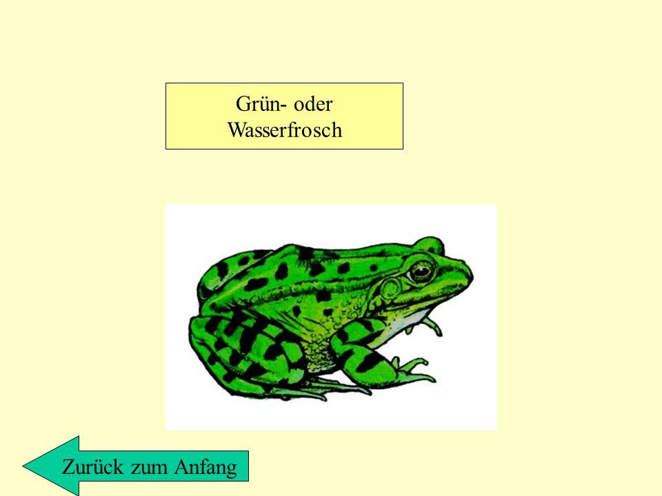 Grün- oder Wasserfrosch Zurück zum Anfang
