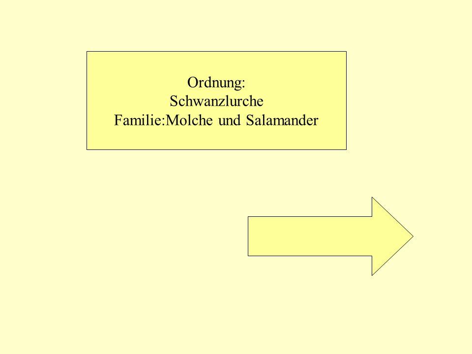 Familie:Molche und Salamander