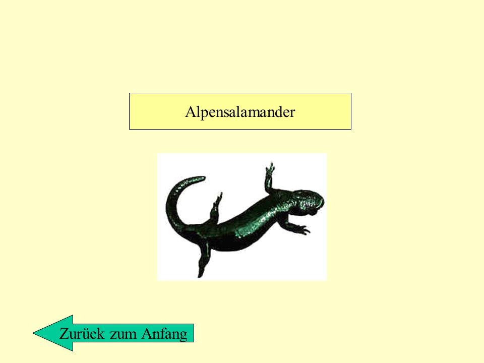 Alpensalamander Zurück zum Anfang