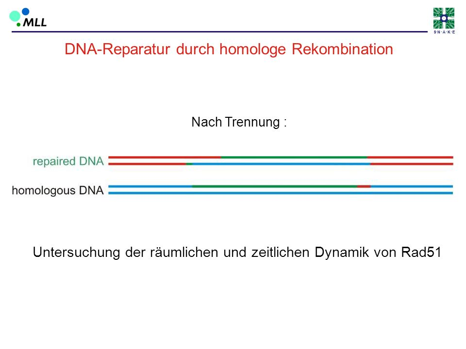 DNA-Reparatur durch homologe Rekombination