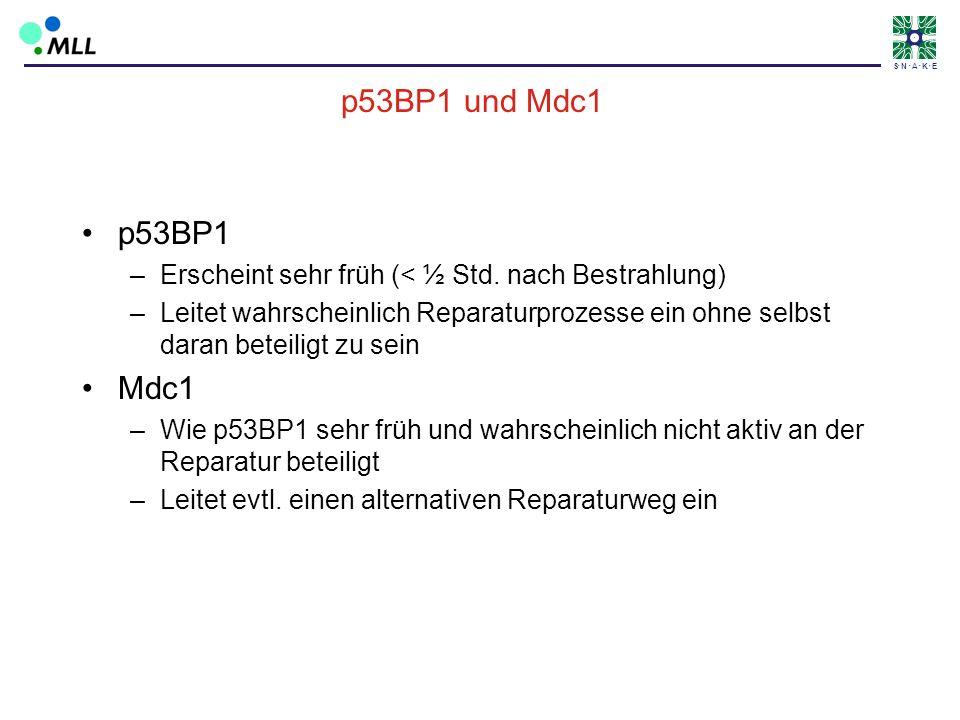 p53BP1 und Mdc1p53BP1. Erscheint sehr früh (< ½ Std. nach Bestrahlung)