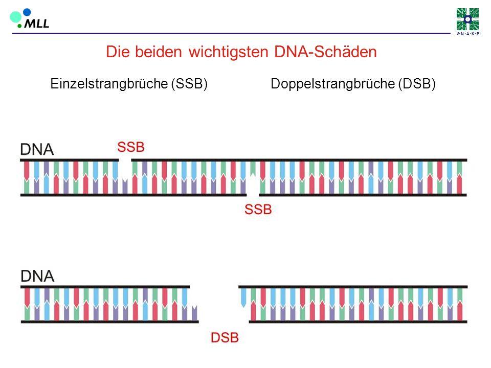 Die beiden wichtigsten DNA-Schäden