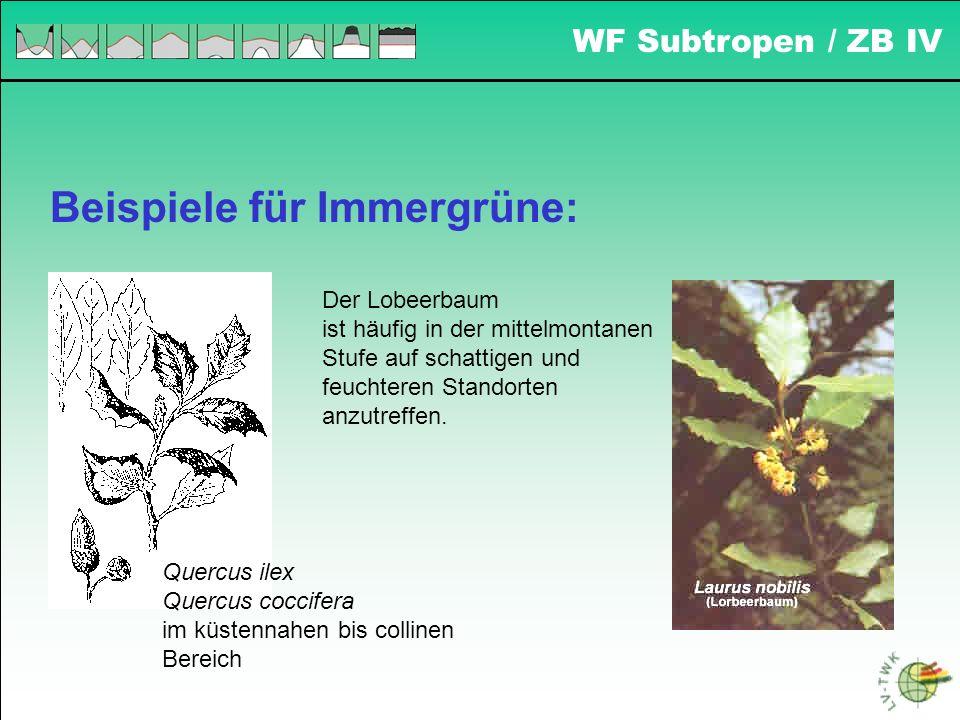 Beispiele für Immergrüne: