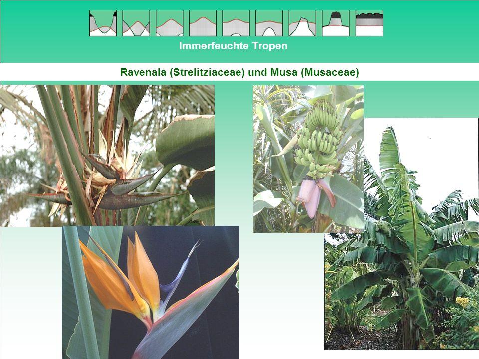 Ravenala (Strelitziaceae) und Musa (Musaceae)