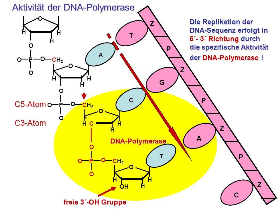 Aktivität der DNA-Polymerase