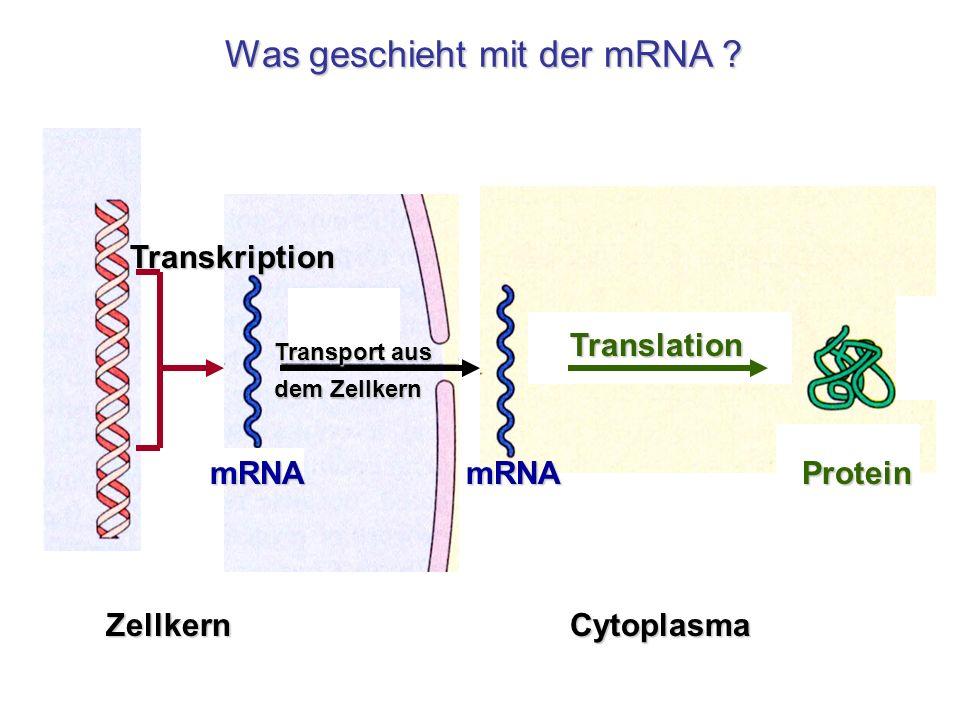 Was geschieht mit der mRNA