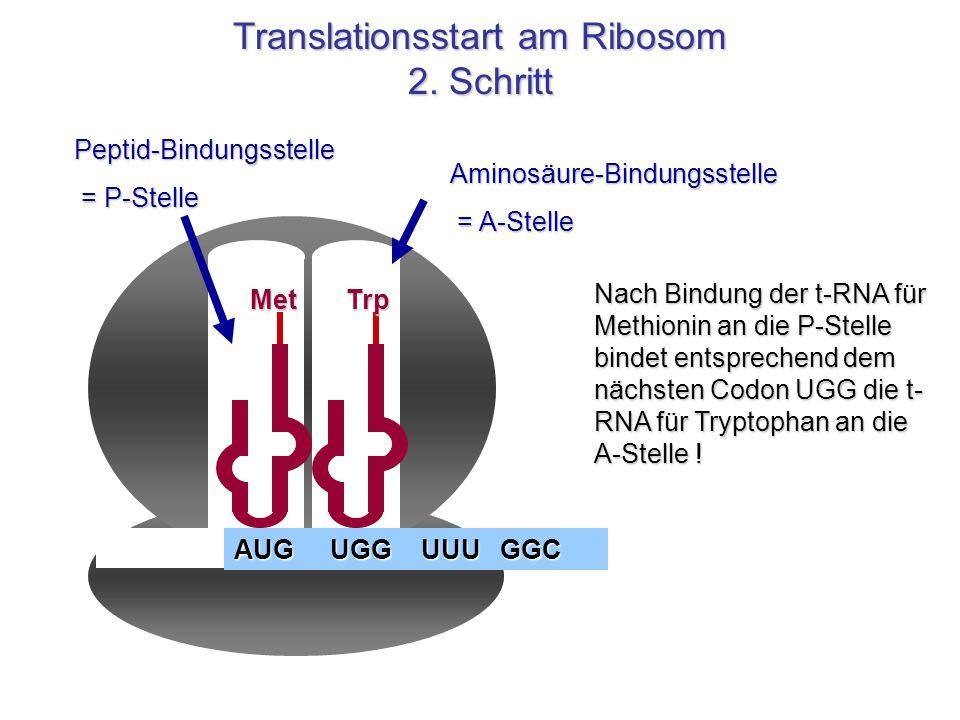 Translationsstart am Ribosom 2. Schritt