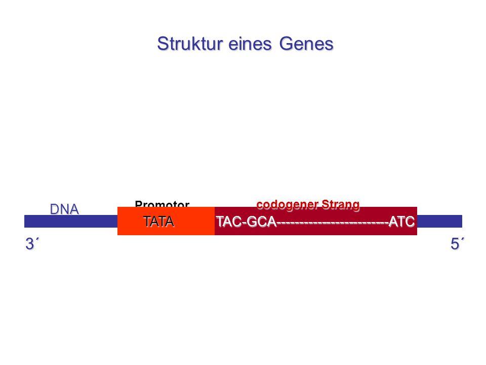 Struktur eines Genes 3´ 5´ TAC-GCA-------------------------ATC DNA