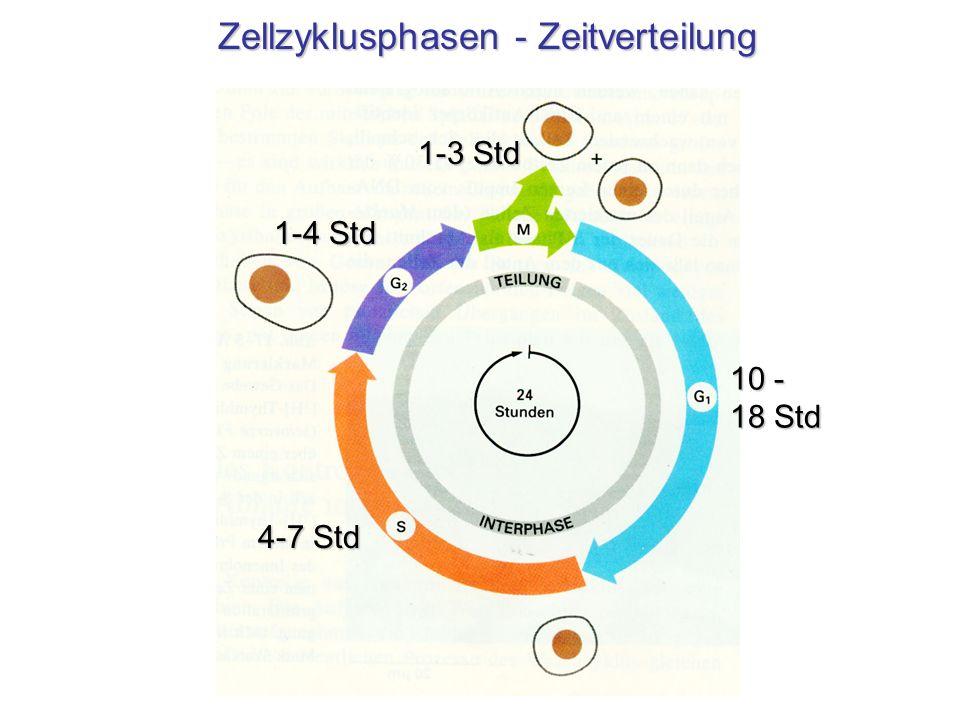 Zellzyklusphasen - Zeitverteilung