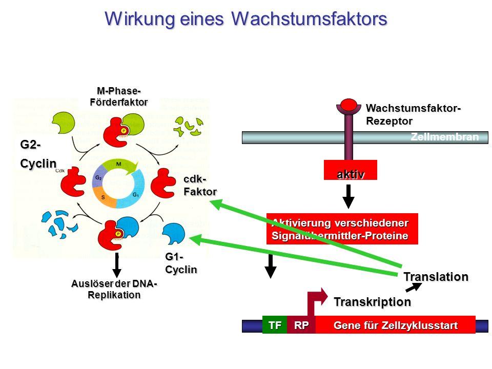 M-Phase-Förderfaktor Auslöser der DNA-Replikation