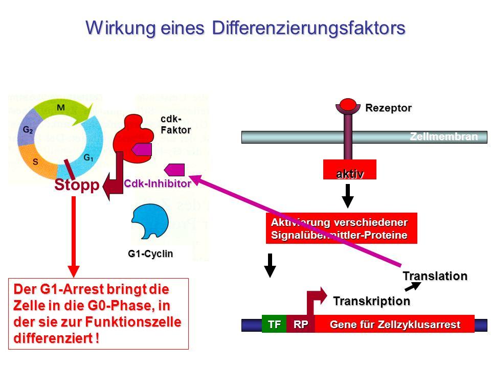 Gene für Zellzyklusarrest