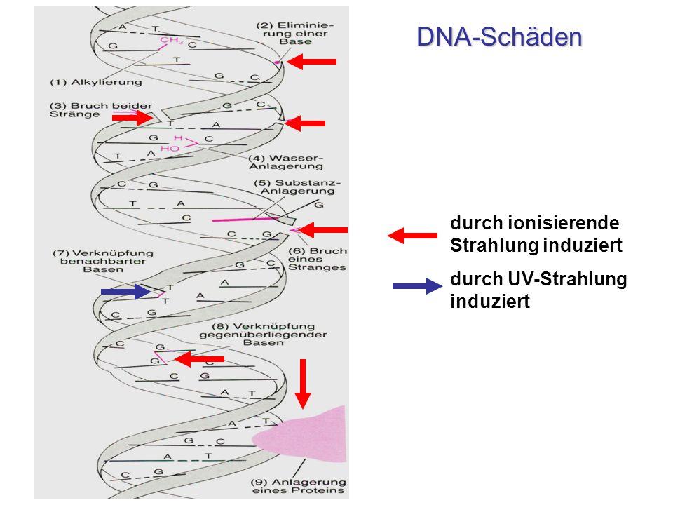 DNA-Schäden durch ionisierende Strahlung induziert
