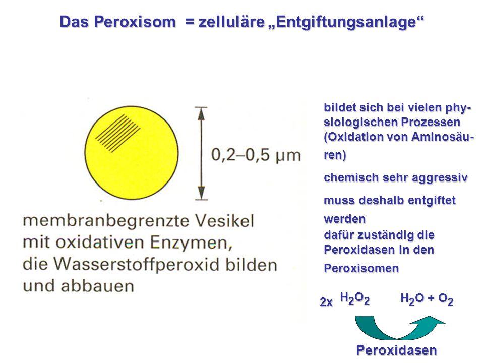 """Das Peroxisom = zelluläre """"Entgiftungsanlage"""