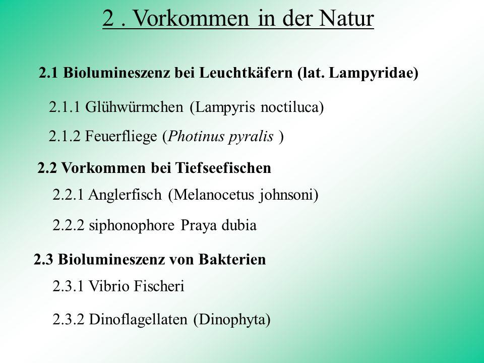 2 . Vorkommen in der Natur 2.1 Biolumineszenz bei Leuchtkäfern (lat. Lampyridae) 2.1.1 Glühwürmchen (Lampyris noctiluca)