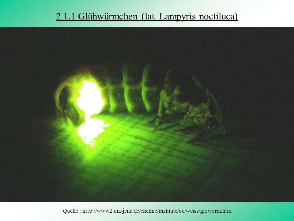 2.1.1 Glühwürmchen (lat. Lampyris noctiluca)