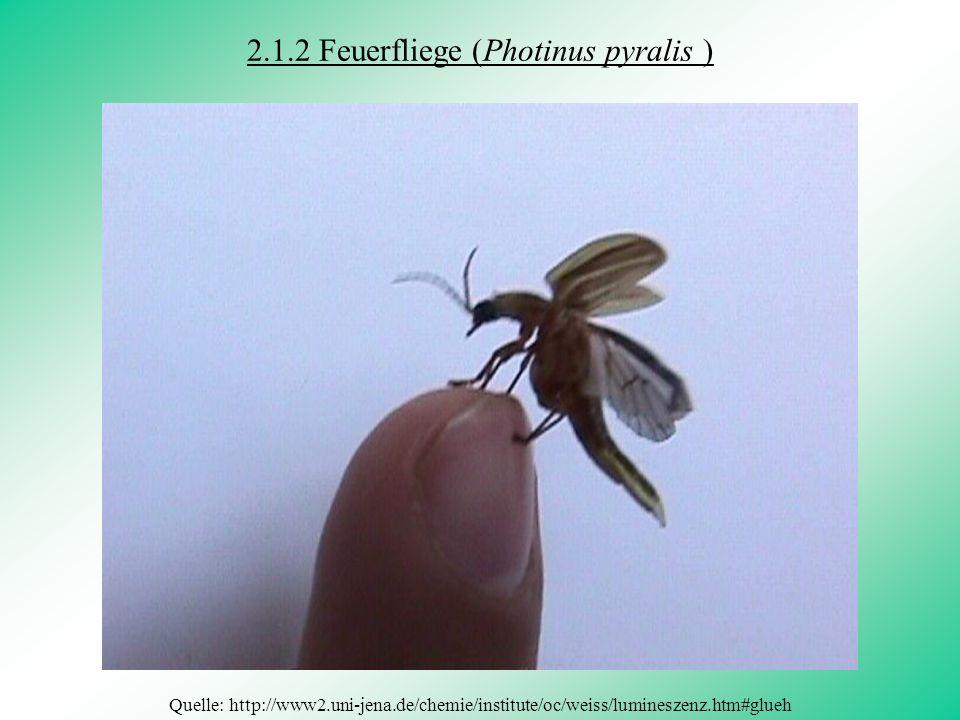 2.1.2 Feuerfliege (Photinus pyralis )