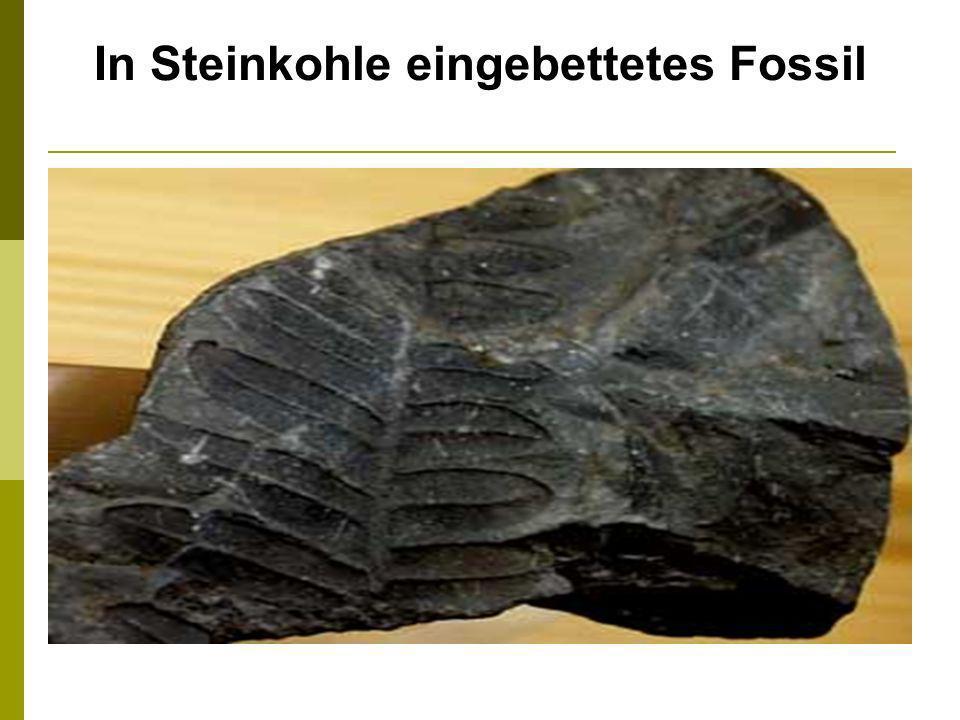 In Steinkohle eingebettetes Fossil