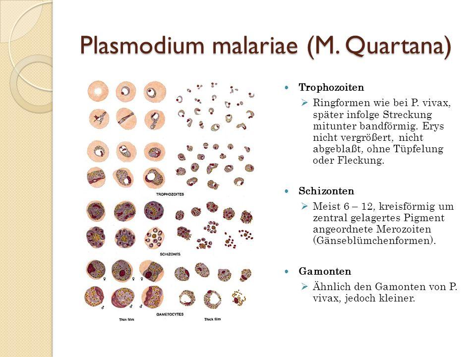 Plasmodium malariae (M. Quartana)