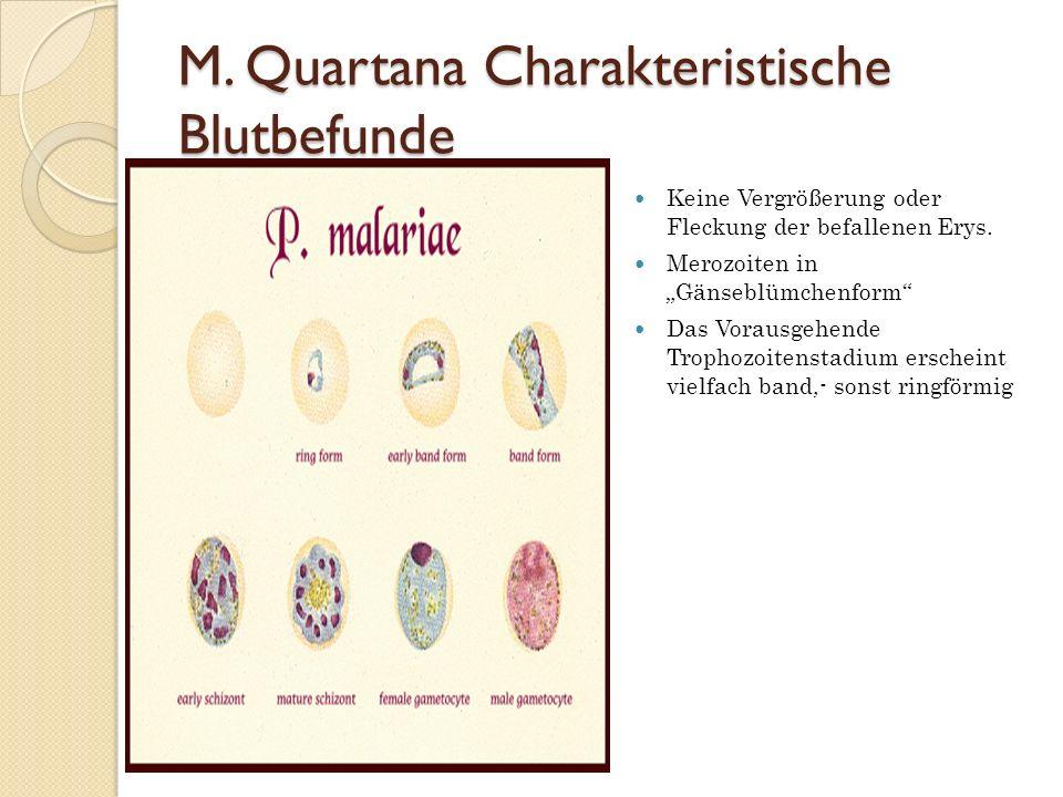 M. Quartana Charakteristische Blutbefunde
