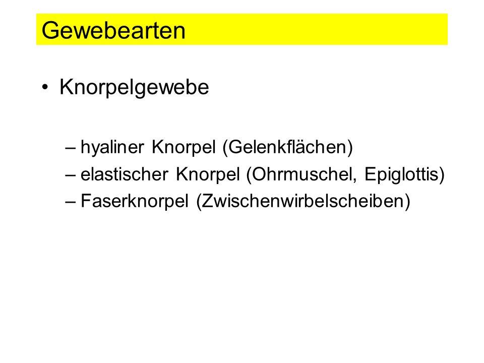 Gewebearten Knorpelgewebe hyaliner Knorpel (Gelenkflächen)