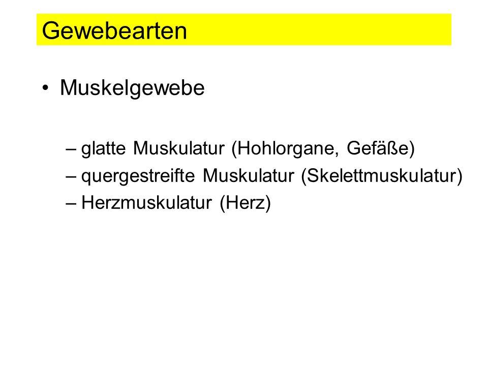 Gewebearten Muskelgewebe glatte Muskulatur (Hohlorgane, Gefäße)