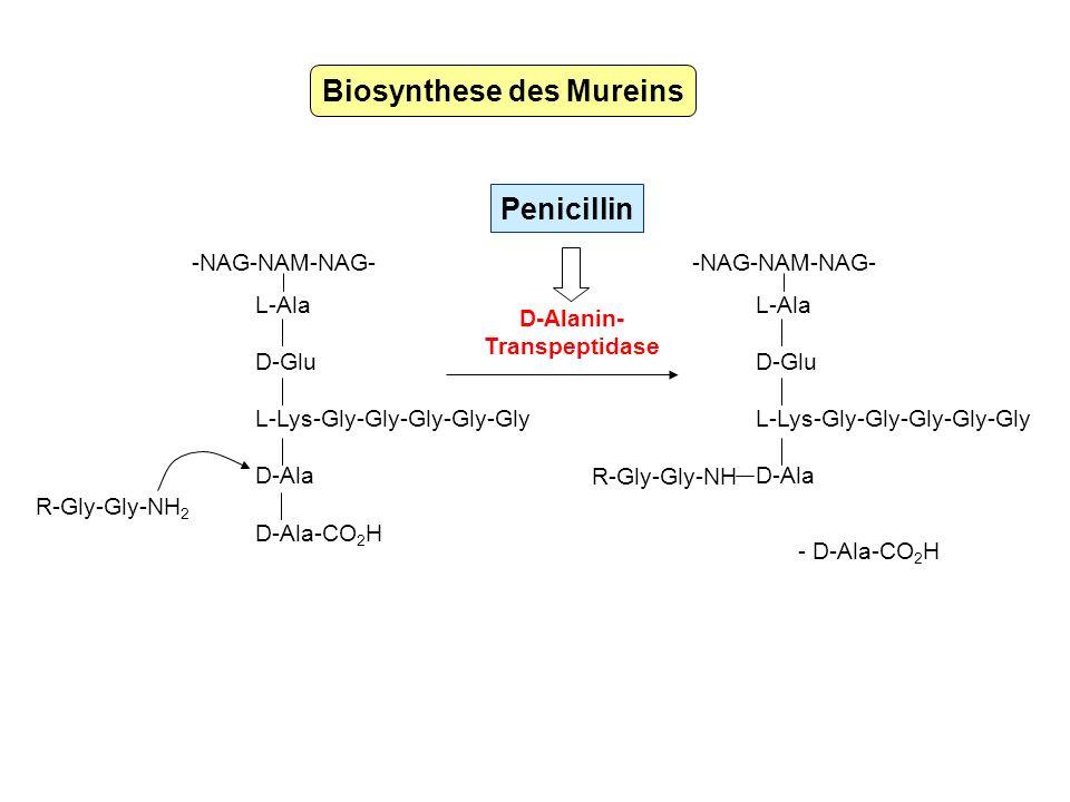 Biosynthese des Mureins