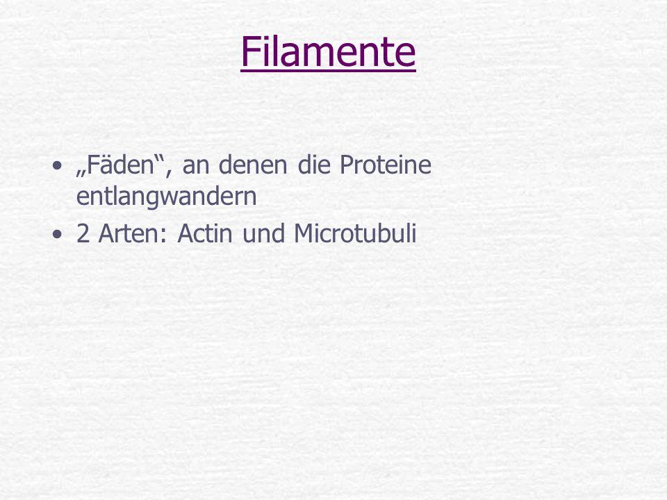 """Filamente """"Fäden , an denen die Proteine entlangwandern"""
