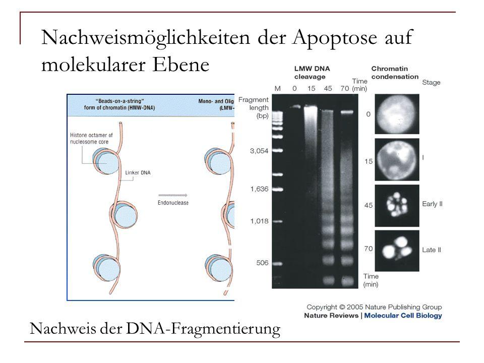 Nachweismöglichkeiten der Apoptose auf molekularer Ebene
