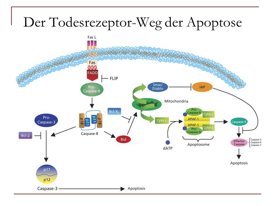 Der Todesrezeptor-Weg der Apoptose